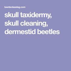 Dermestid beetle how to prepare dock skull