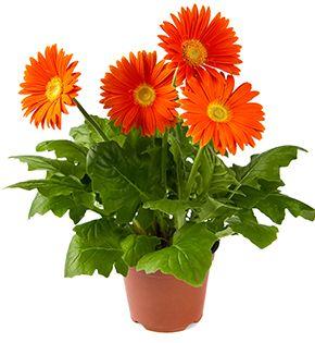 gerbera plant care instructions