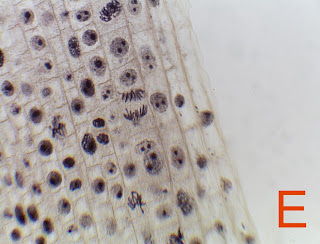 Onion root tip mitosis experiment pdf