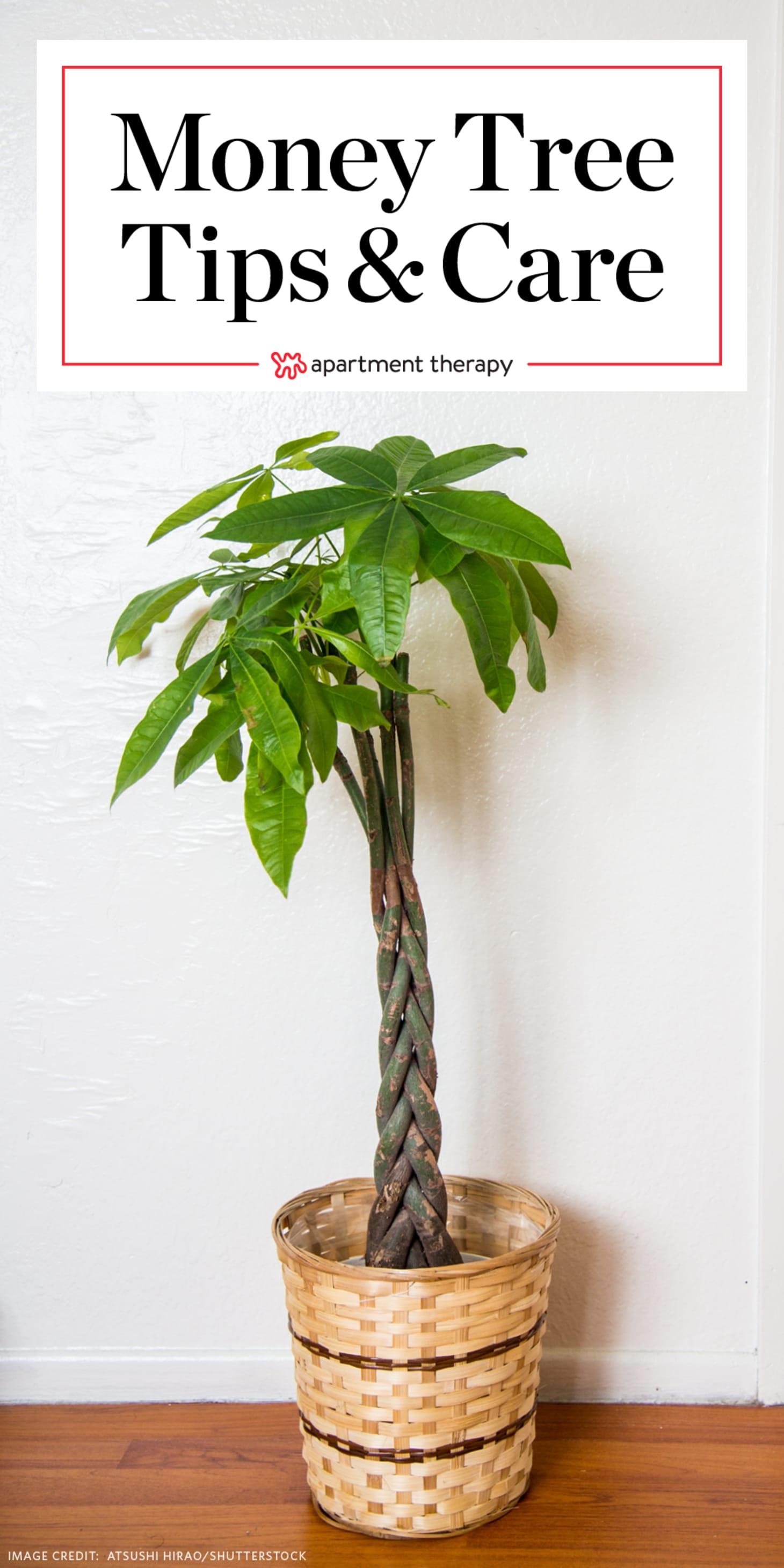 Money tree plant care instructions